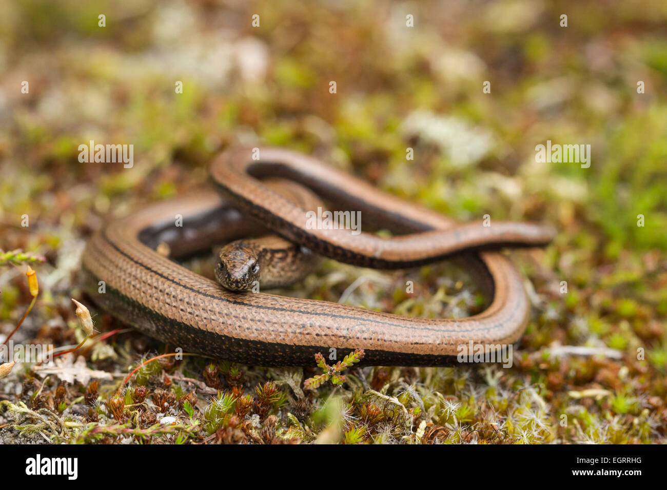 Slow worm Anguis fragilis (controlled conditions), adult female, on heathland vegetation, Arne, Dorset in May. Stock Photo