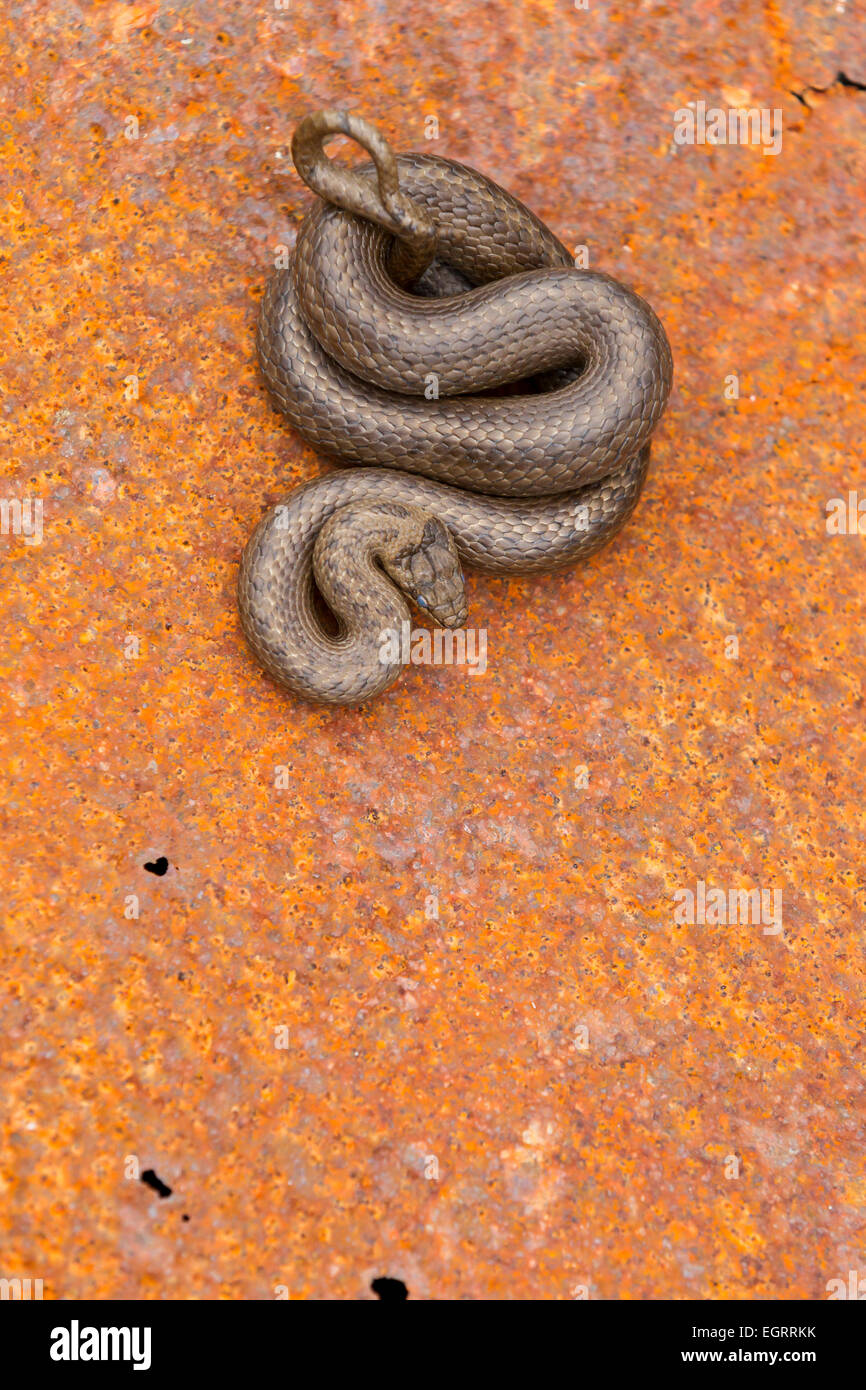 Smooth snake Coronella austriaca (under licence), adult male, coiled on rusty metal sheet, Arne, Dorset in May. - Stock Image