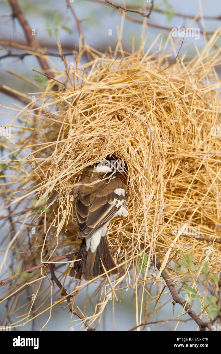 White-browed Sparrow-Weaver Plocepasser mahali, entering woven nest, Bilen Lodge, Ethiopia in February. - Stock Image