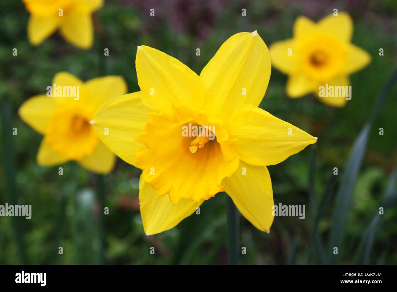 Yellow daffodil flowers in spring season Stock Photo