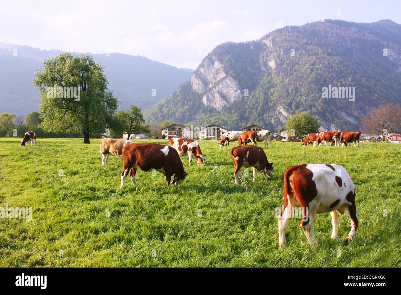 Cows grazing in a field in Switzerland Stock Photo