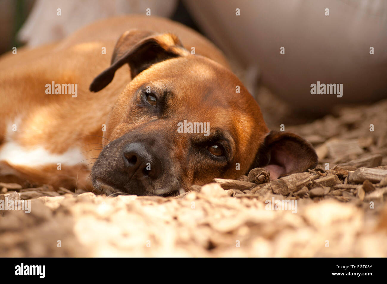 Sleeping Dog - Stock Image