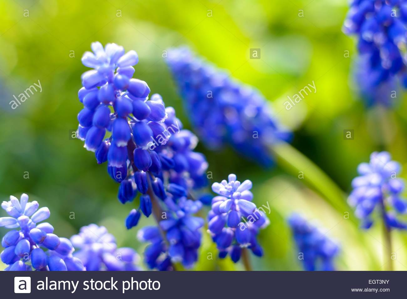 Small blue flowers at spring stock photo 79205783 alamy small blue flowers at spring mightylinksfo