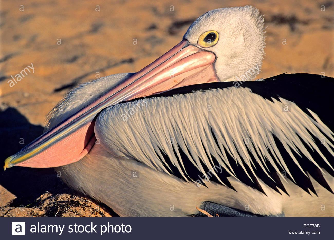 Spectacled pelican, Shark Bay, Western Australia. - Stock Image