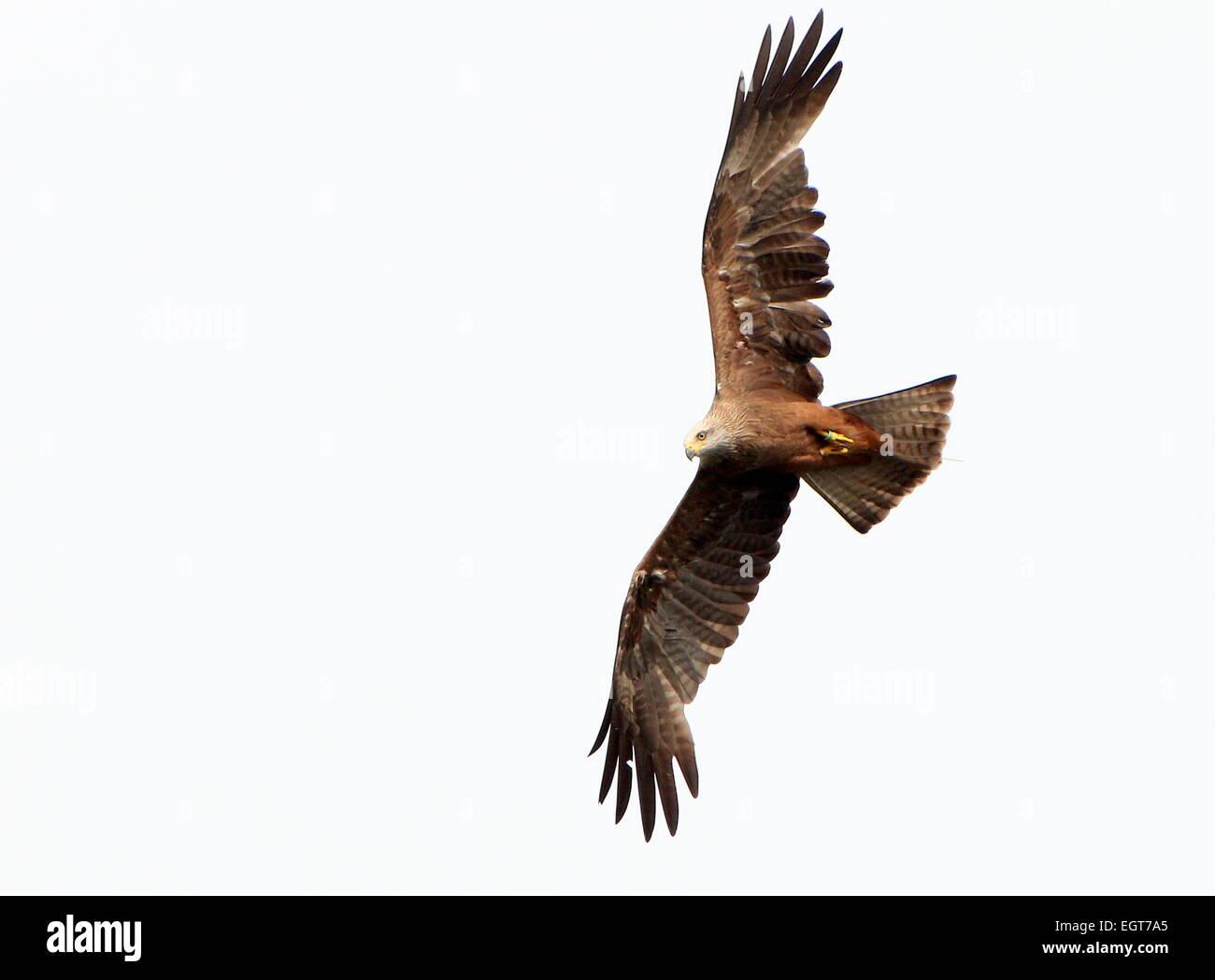 Eurasian Black Kite (Milvus migrans), detailed close-up in flight - Stock Image