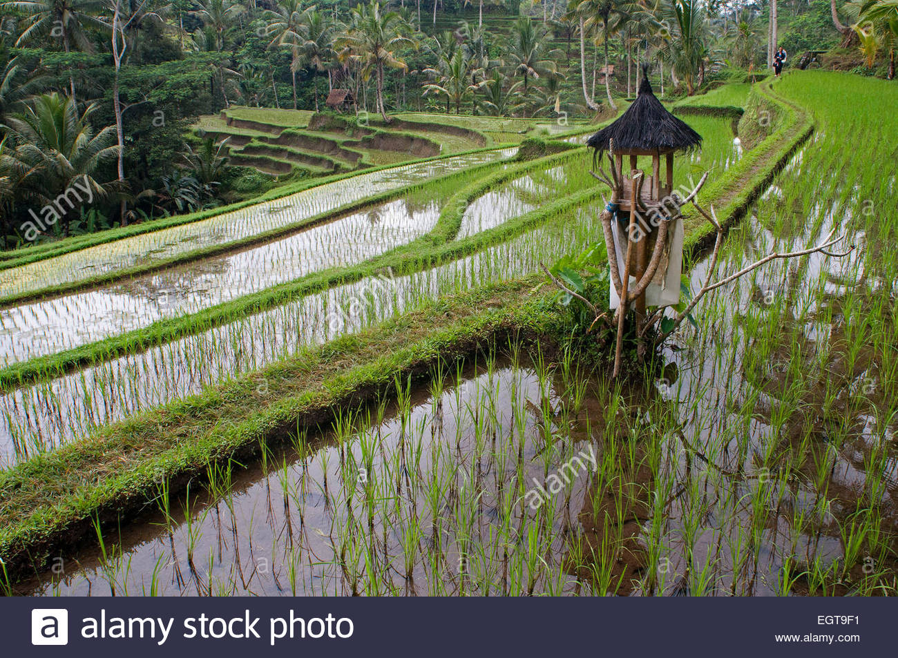 Rice field located around the Kaki Gunung temple in the center of the island near the town of Bangli. Ubud. Bali. - Stock Image