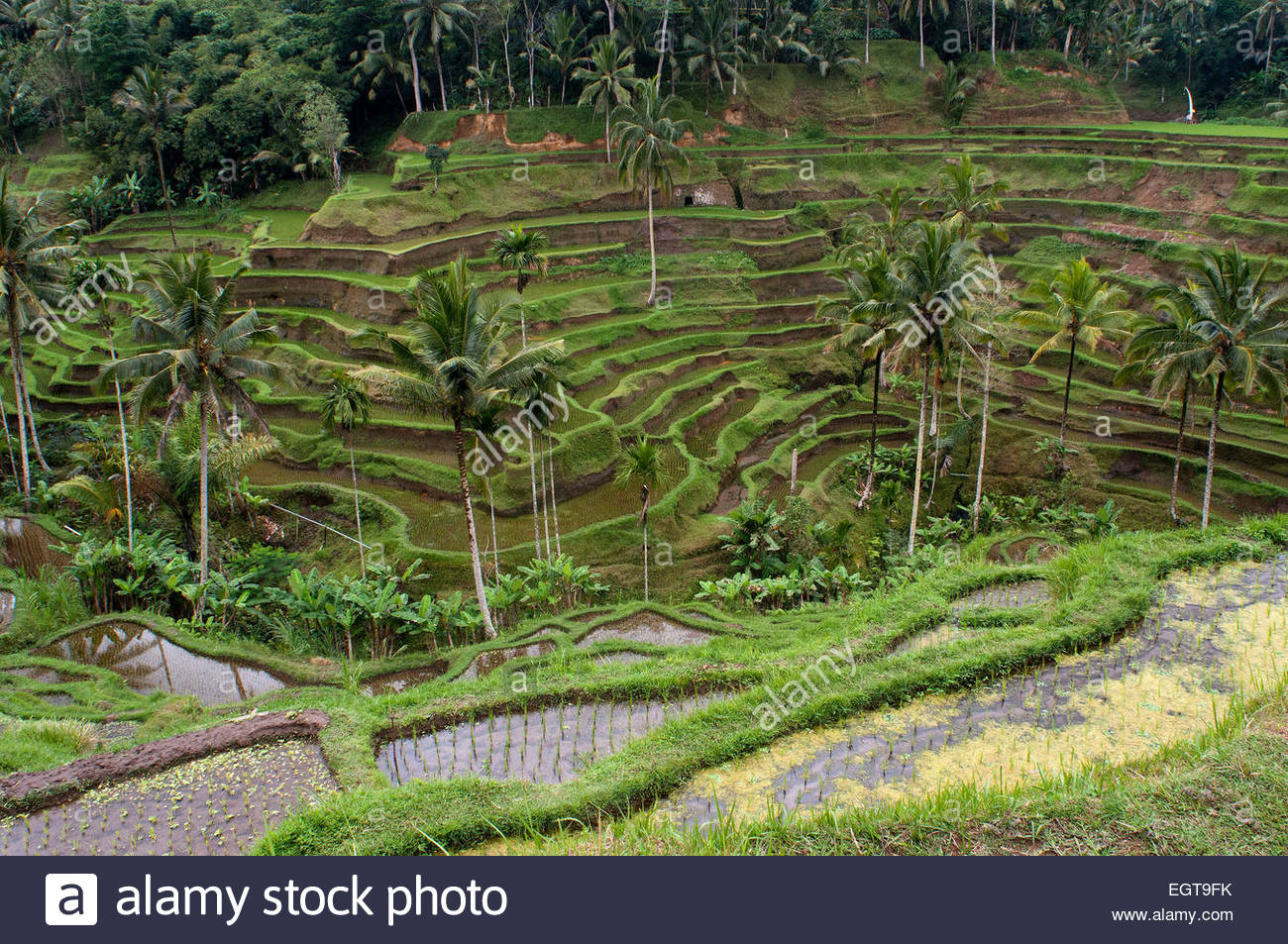Rice terraces in a viewpoint at Tegallalang, 12 km from Ubud. Bali. Rice field located around the Kaki Gunung temple - Stock Image