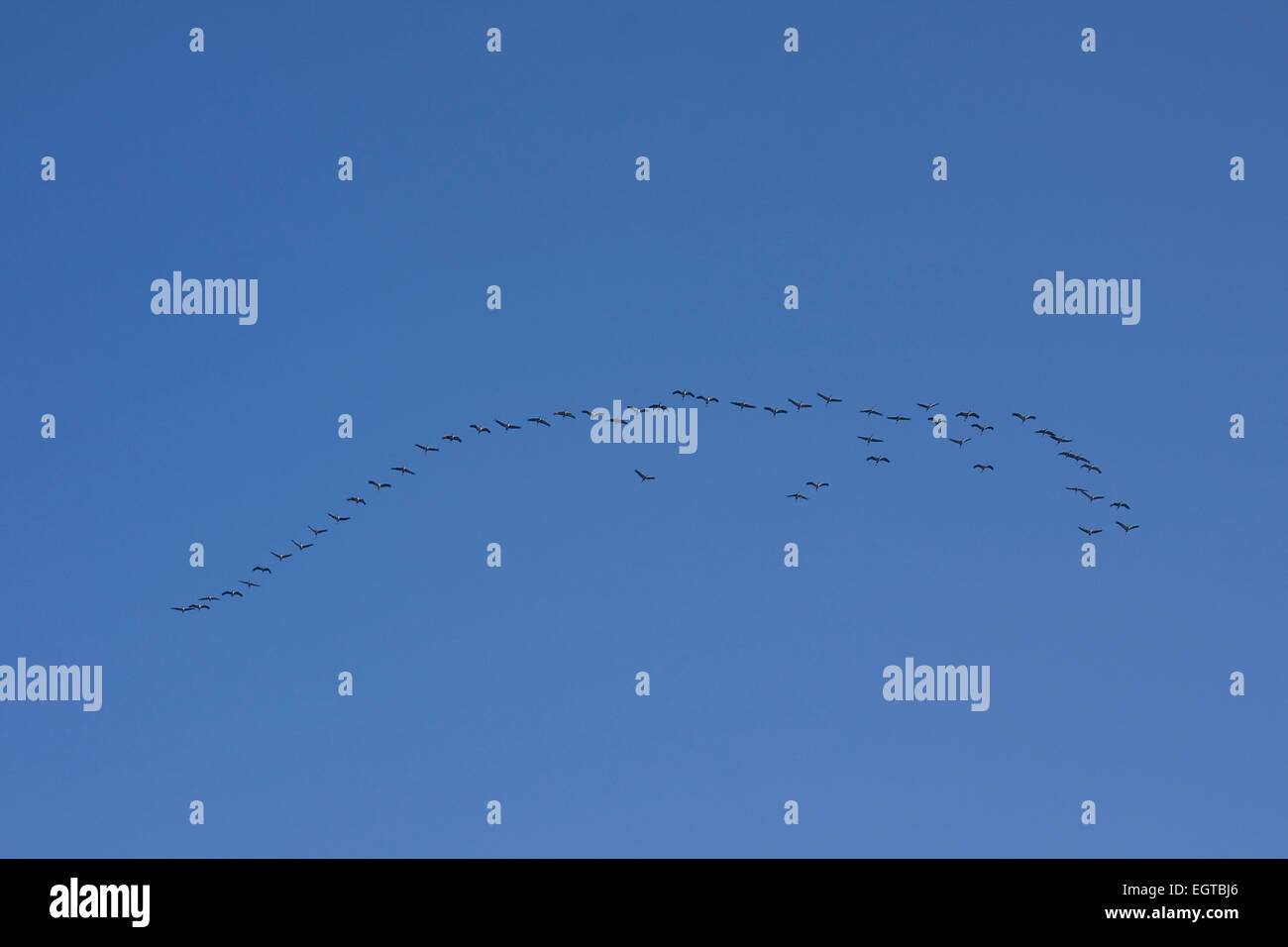 Greylag Geese (Anser anser), wild geese in flight against blue sky. Mecklenburg-Western Pomerania, Germany, Europe - Stock Image