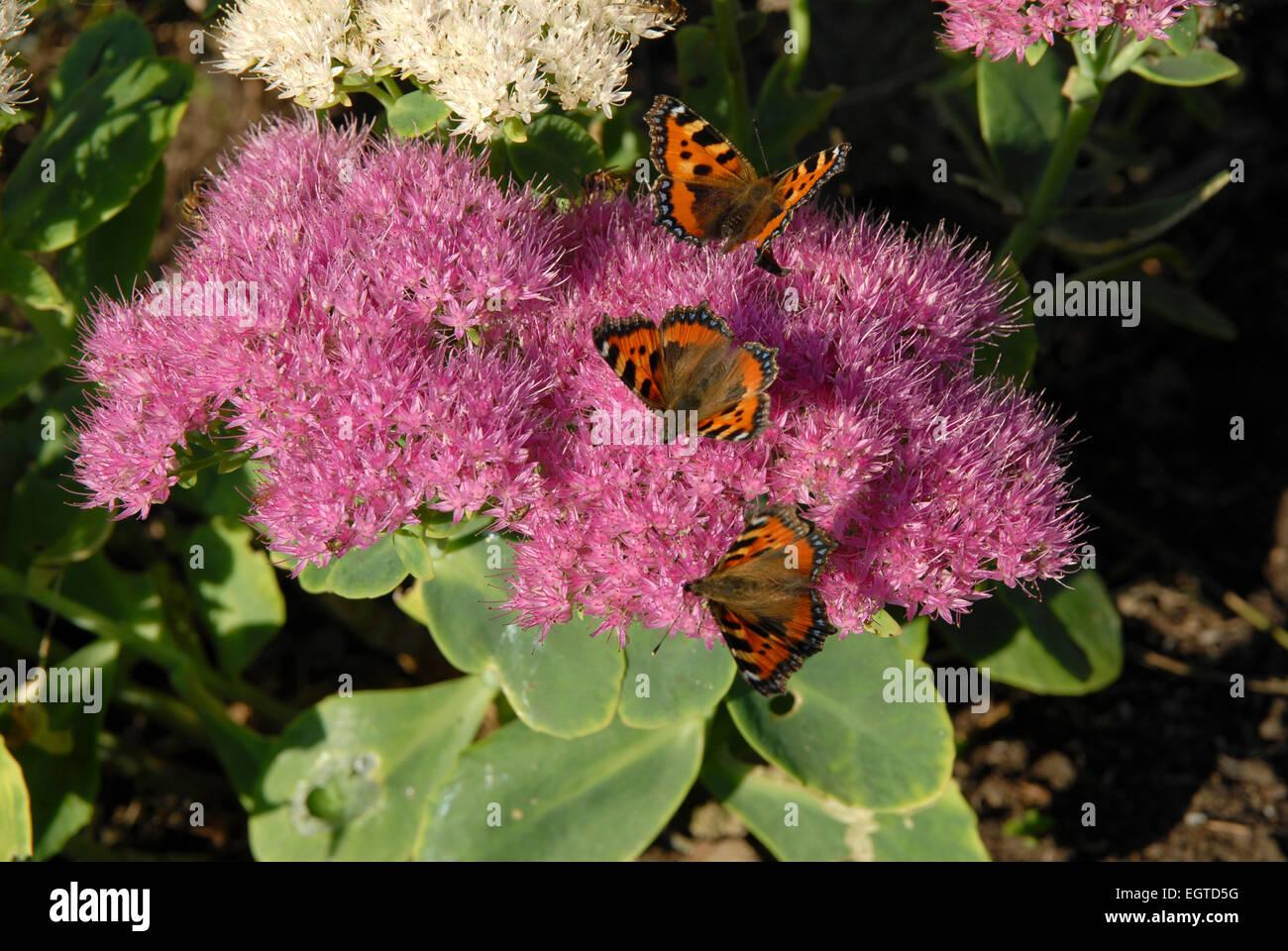 Three Small Tortoiseshell Butterflies, Aglais urticae, feeding on Sedum spectabile, or Ice-plant. - Stock Image