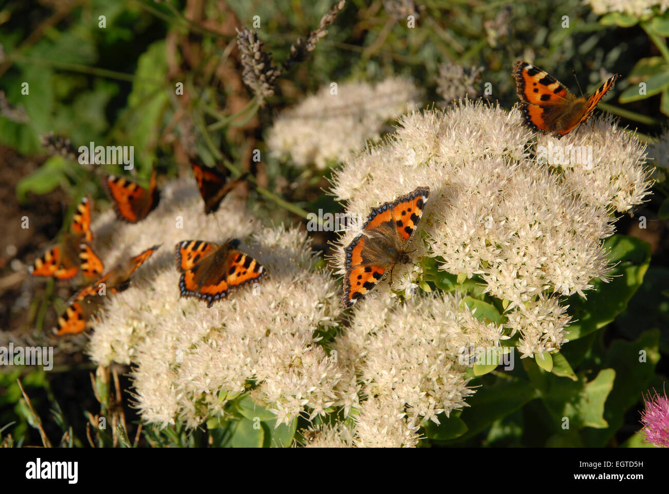 Mass of Small Tortoiseshell Butterflies, Aglais urticae, feeding on Sedum spectabile or Ice-plant. - Stock Image