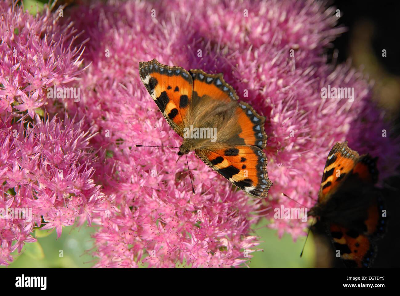 Small Tortoiseshell Butterfly feeding on Sedum Spectabile or Ice Plant - Stock Image