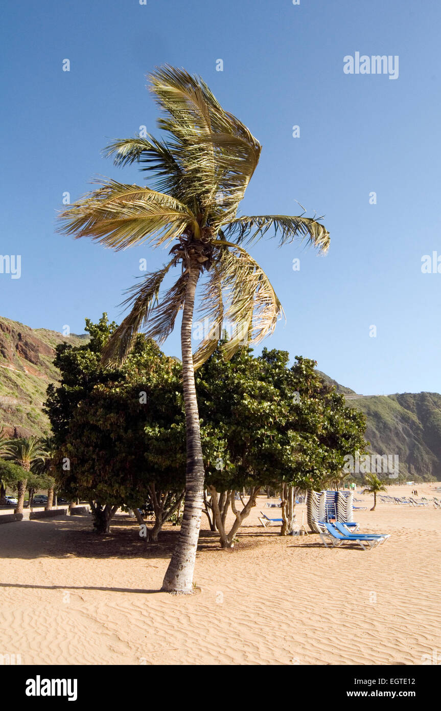 wind swept palm tree trees on beach beaches windy tenerife canary islands isles canary playa teresitas - Stock Image