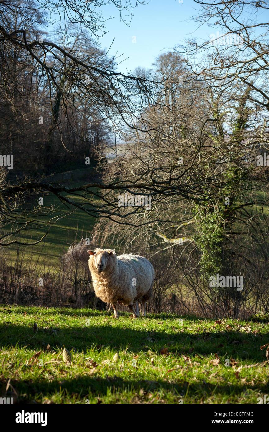 sheep on Devon hills,agriculture, cultivation, tilling, tillage, husbandry, land management, farm management - Stock Image