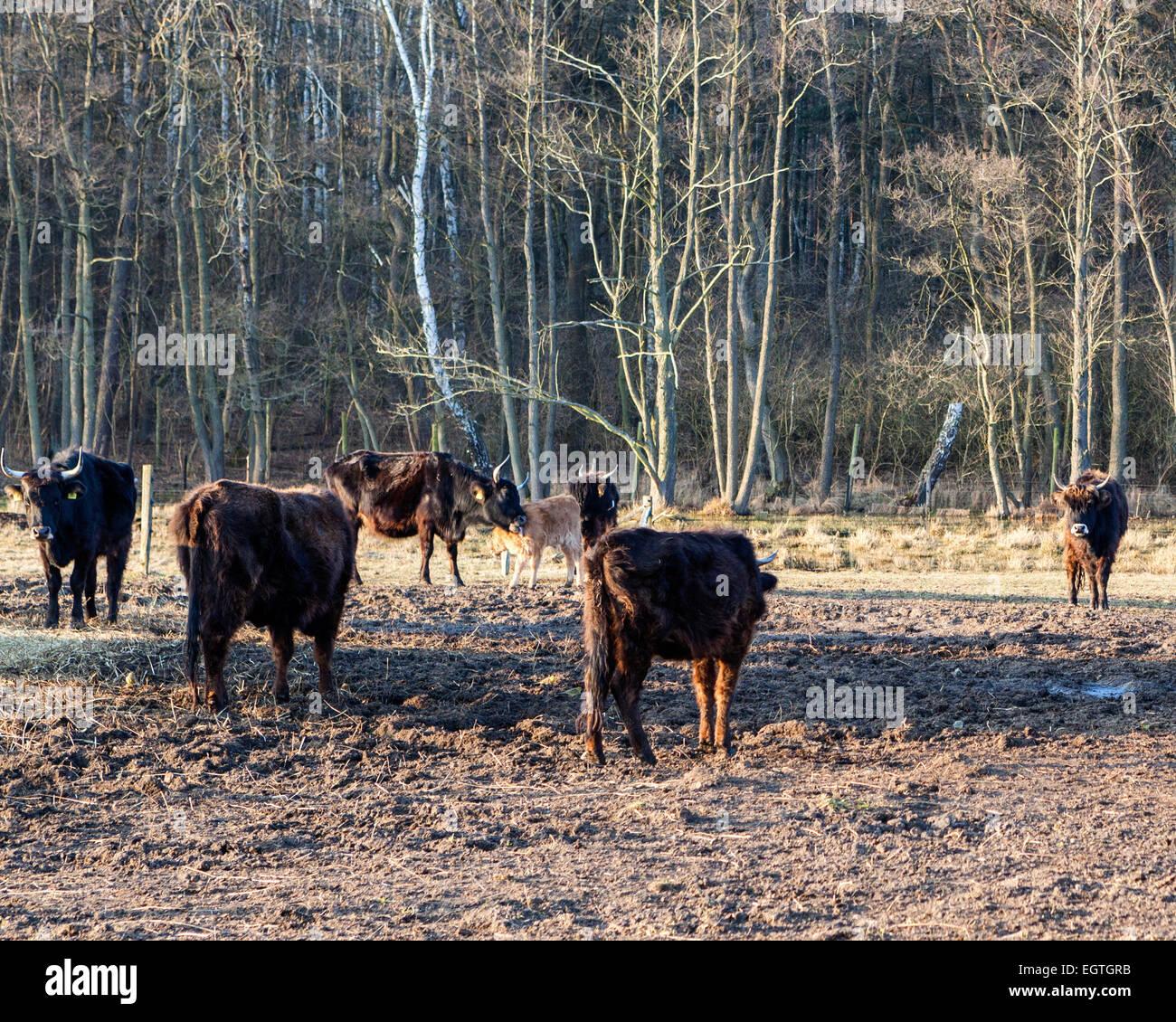 Germany, Schorfheide Game Reserve, Wildpark Schorfheide, Wild park. Heck cattle, Heck Rind under threat of extinction - Stock Image