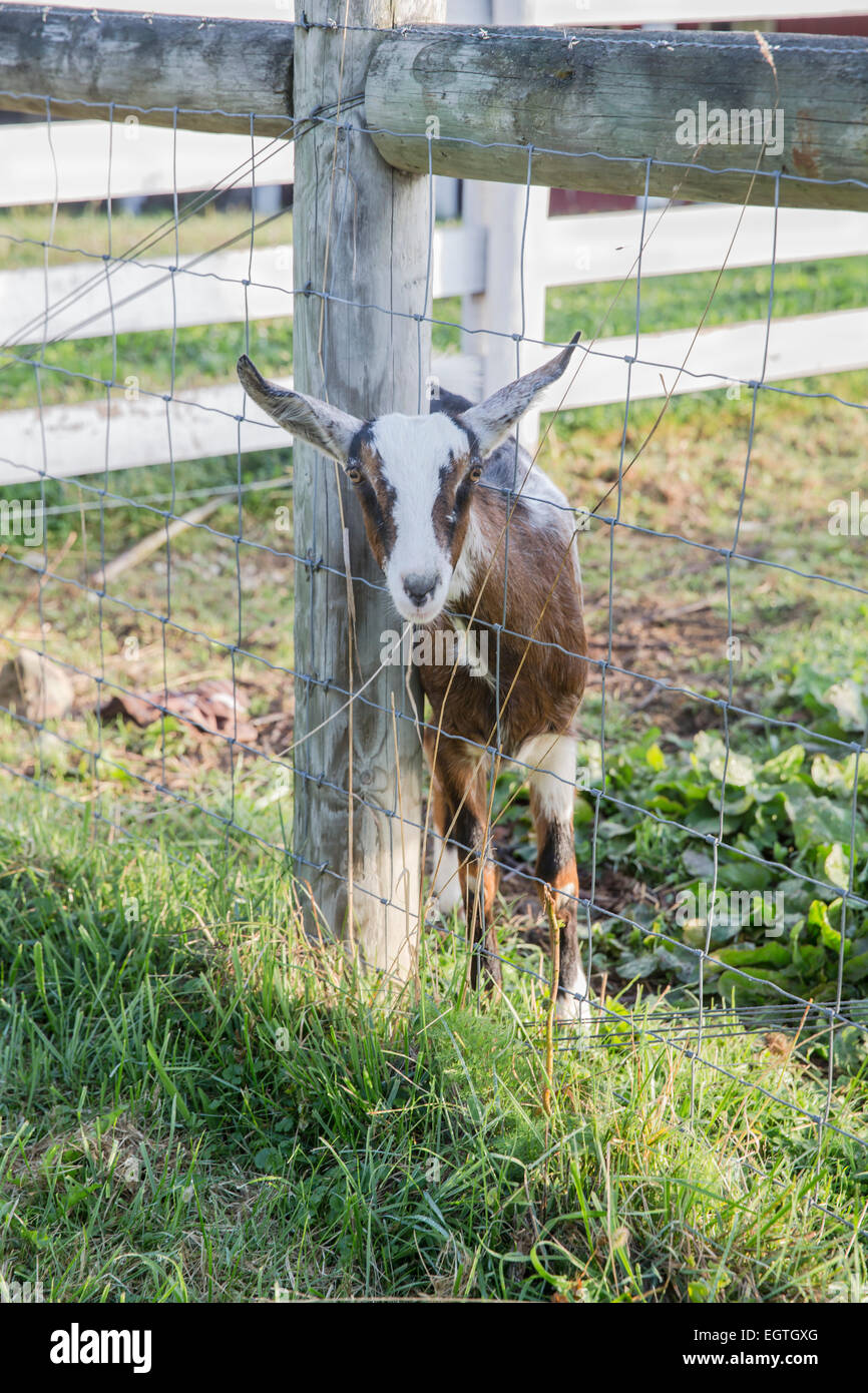 Goat leaning against fencepost, looking outside of the pasture. - Stock Image