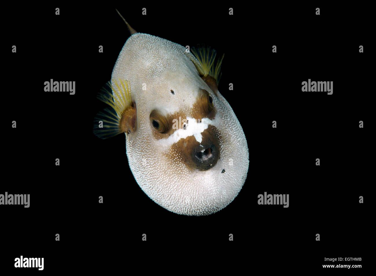 Blackspotted puffer or  dog-faced puffer (Arothron nigropunctatus) Bohol Sea, Cebu, Philippines Stock Photo