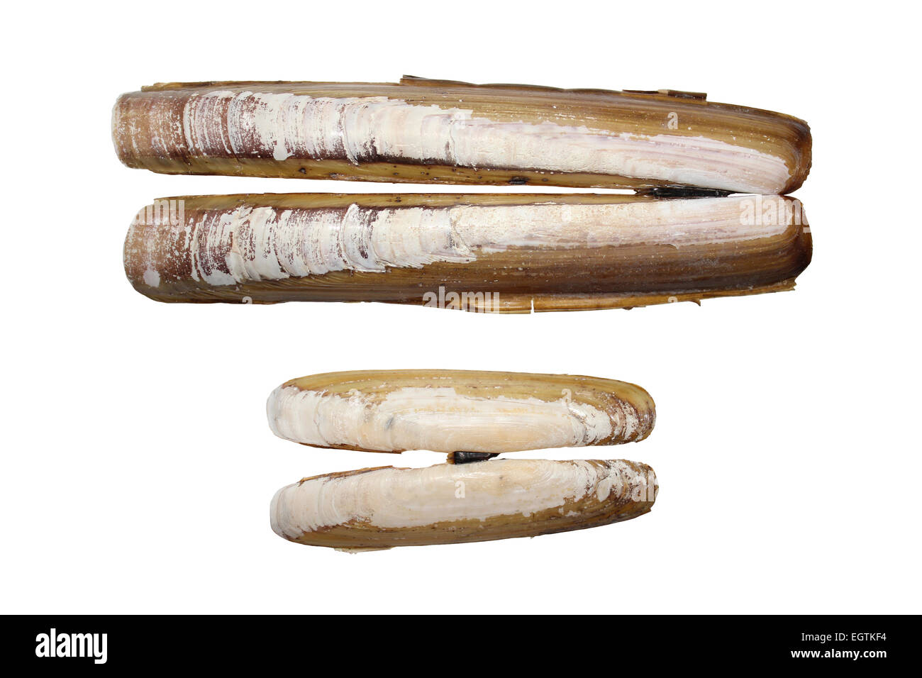 Comparison between Razorshell Ensis arcuatus (above) and Bean Razor Shells Pharus legumen (below) - Stock Image