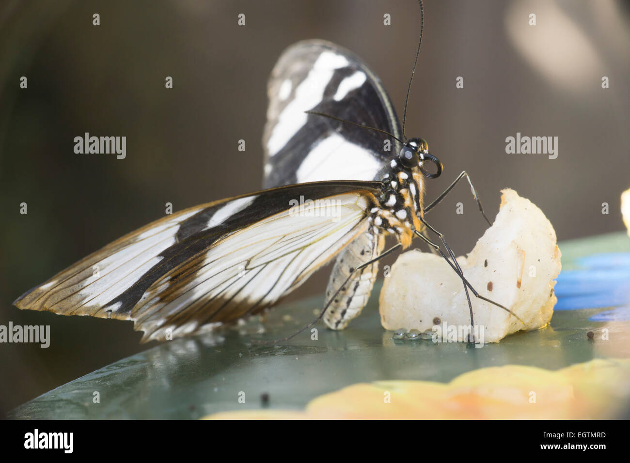 Tropical butteryfly feeding - Stock Image
