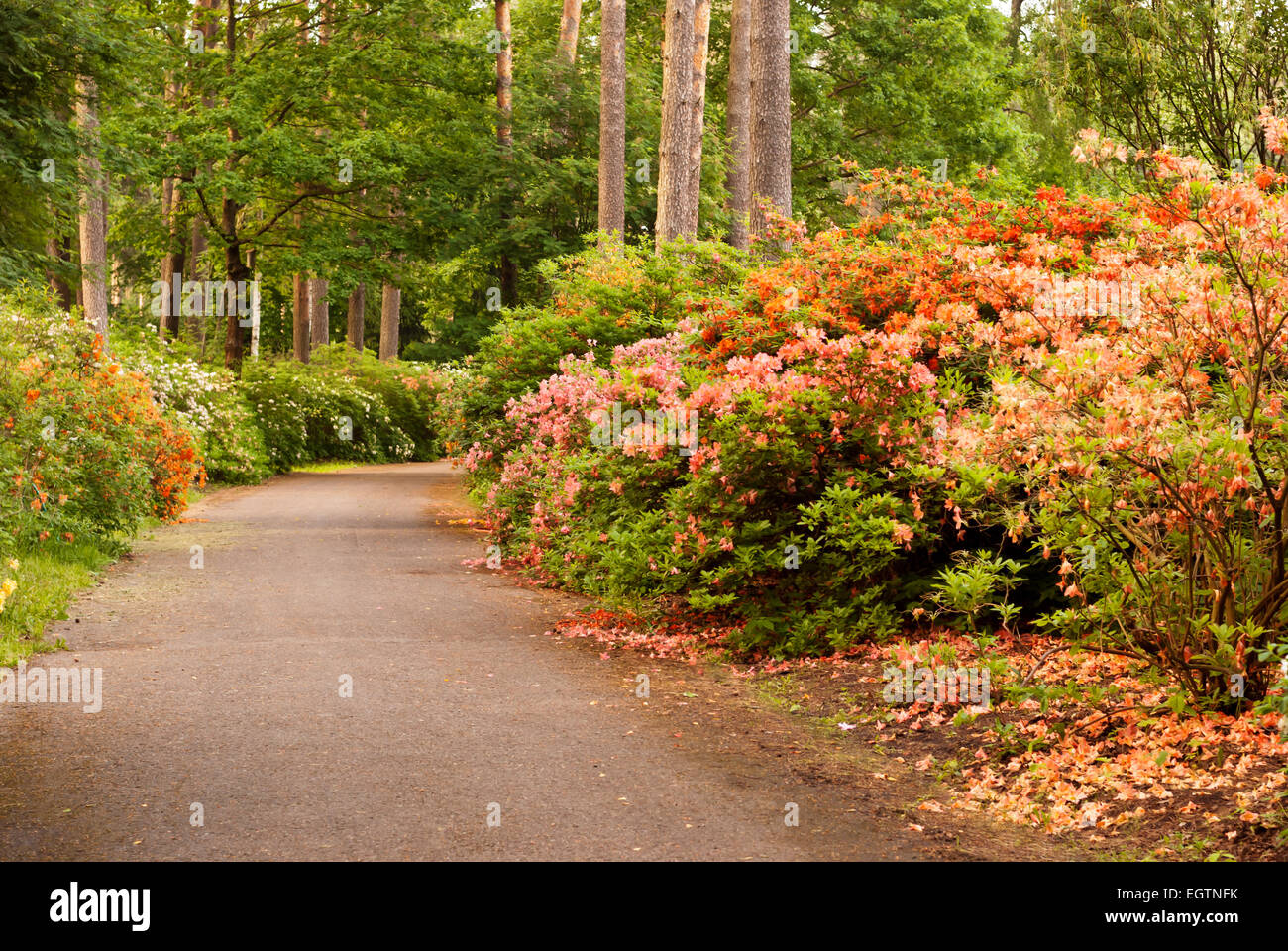 Shrubbery flowering rododendrons. Parkway with the blossoming rhododendrons - Stock Image