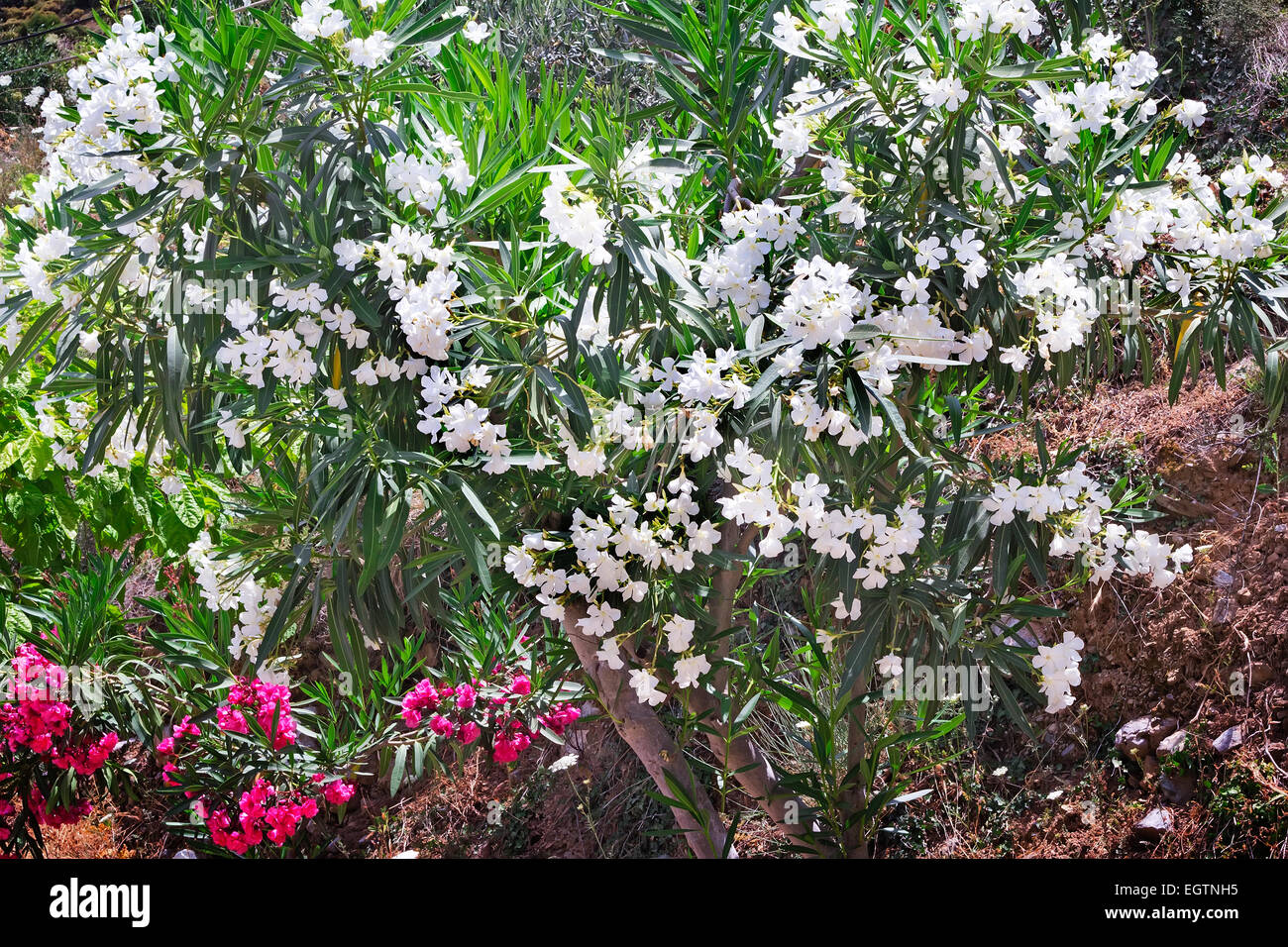 Blooming Oleander With A Large Number Of Beautiful White Flowers And