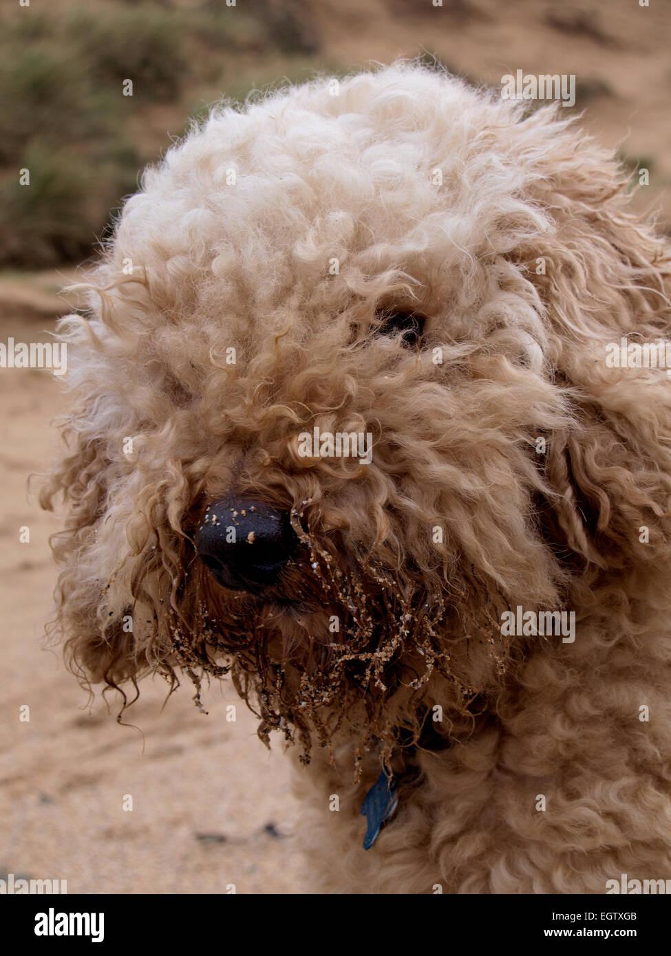 Fluffy dog with sandy beard looking at camera, UK - Stock Image