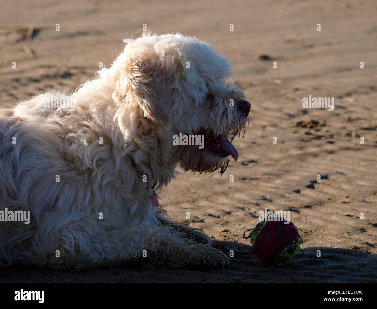 Cute Small White Dog With A Ball Uk Stock Photo 79223934 Alamy