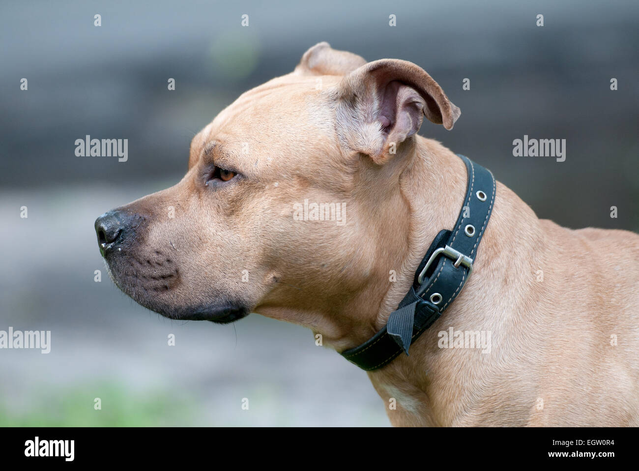 Dog breed Staffordshire Bull Terrier - Stock Image