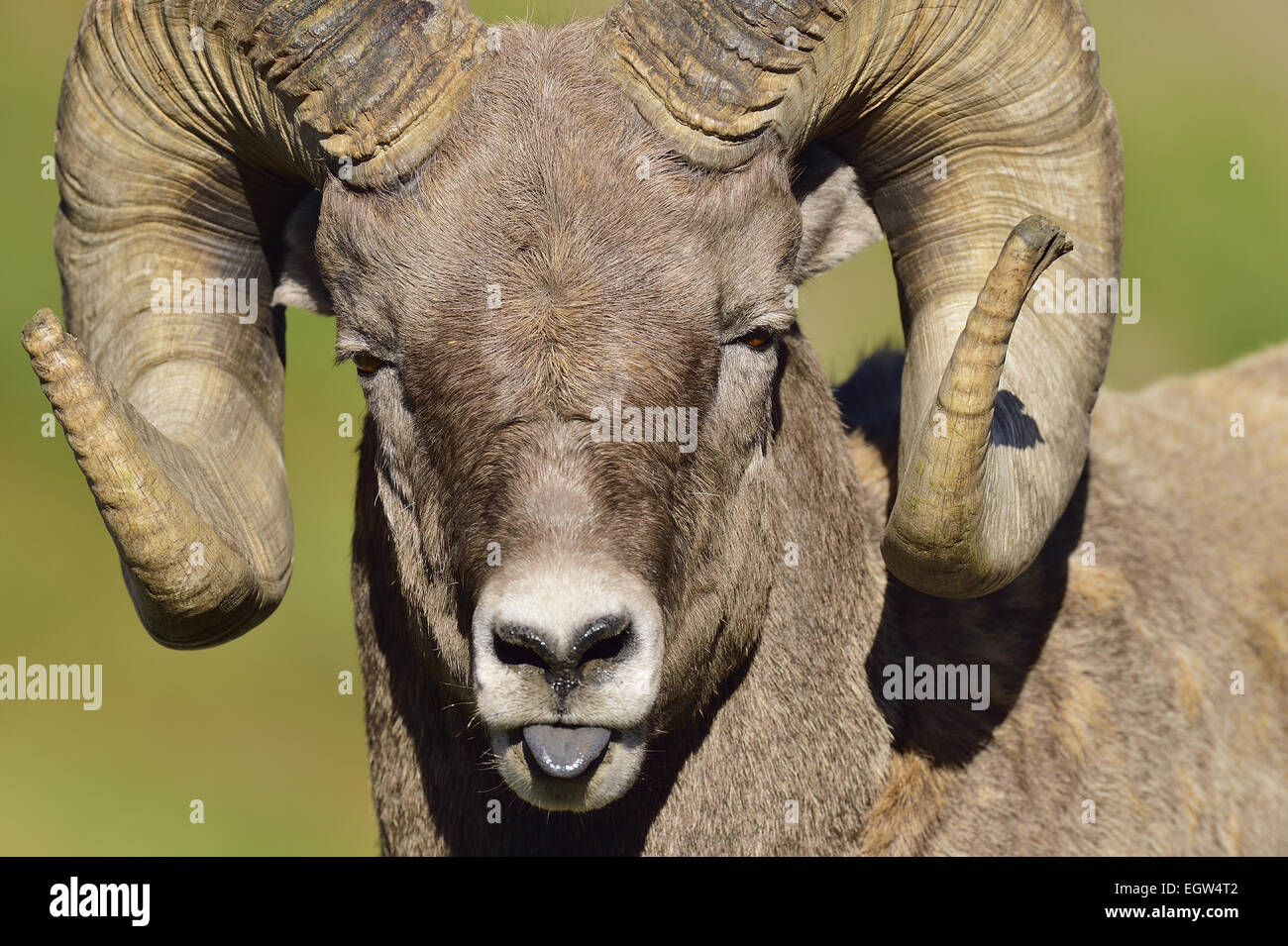 A close up funny looking portrait of a bighorn ram  Orvis canadensis, - Stock Image