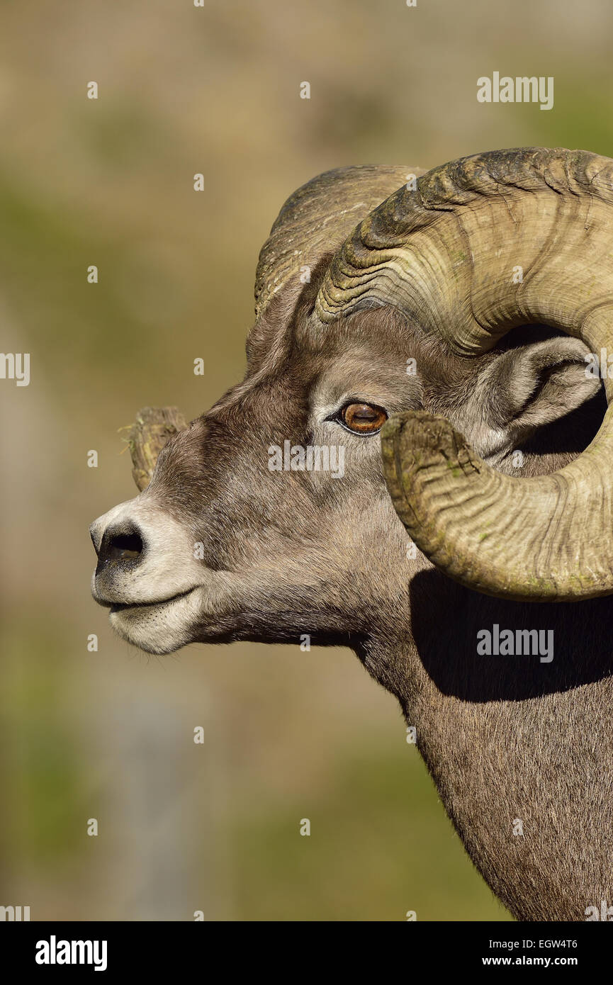 A close up side view portrait view of an adult Bighorn ram 'Orvis canadianis', - Stock Image