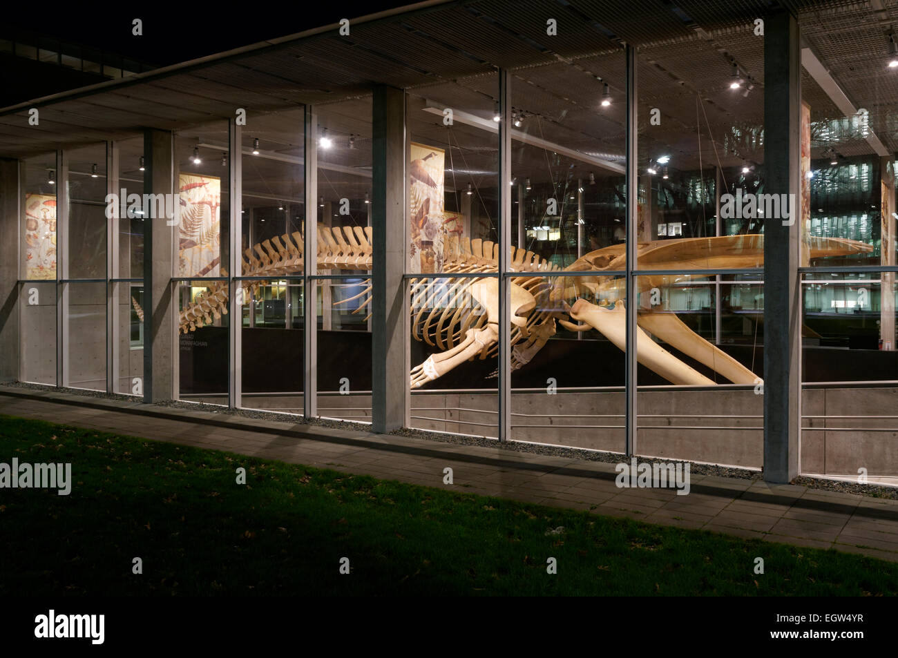 Complete blue whale skeleton at night, Beaty Biodiversity Museum, University of British Columbia, , Vancouver, BC, Stock Photo