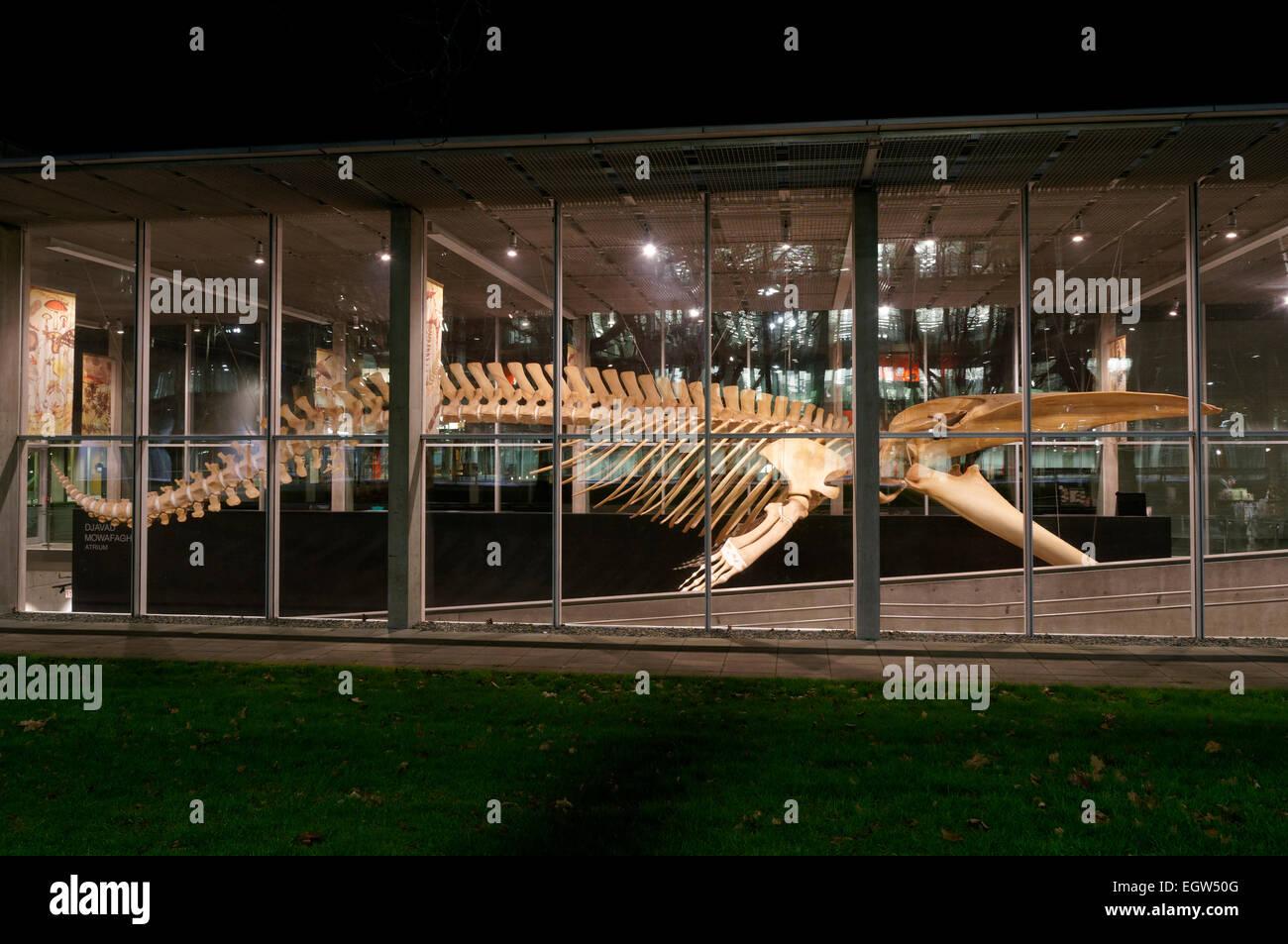 Complete blue whale skeleton at night, Beaty Biodiversity Museum, University of British Columbia, , Vancouver, BC, Stock Photo