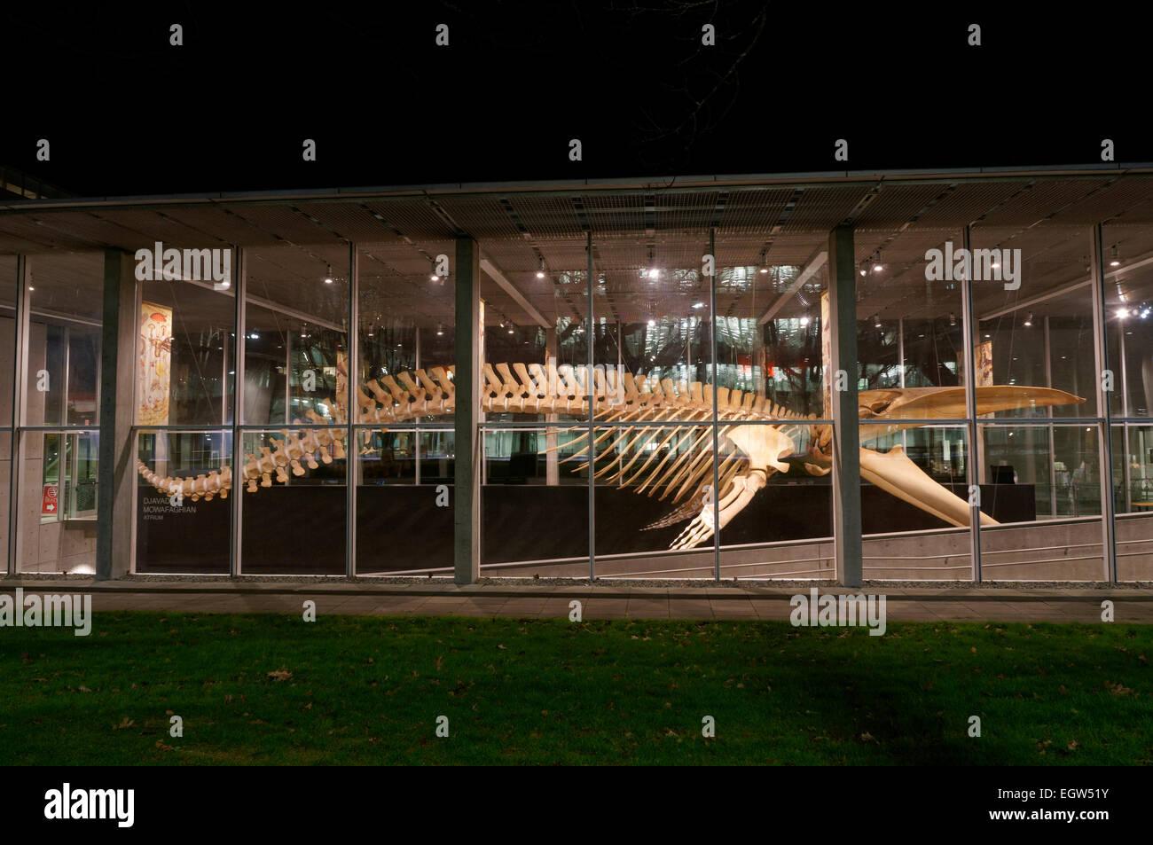 Complete blue whale skeleton at night, Beaty Biodiversity Museum, University of British Columbia, Vancouver, Canada. Stock Photo