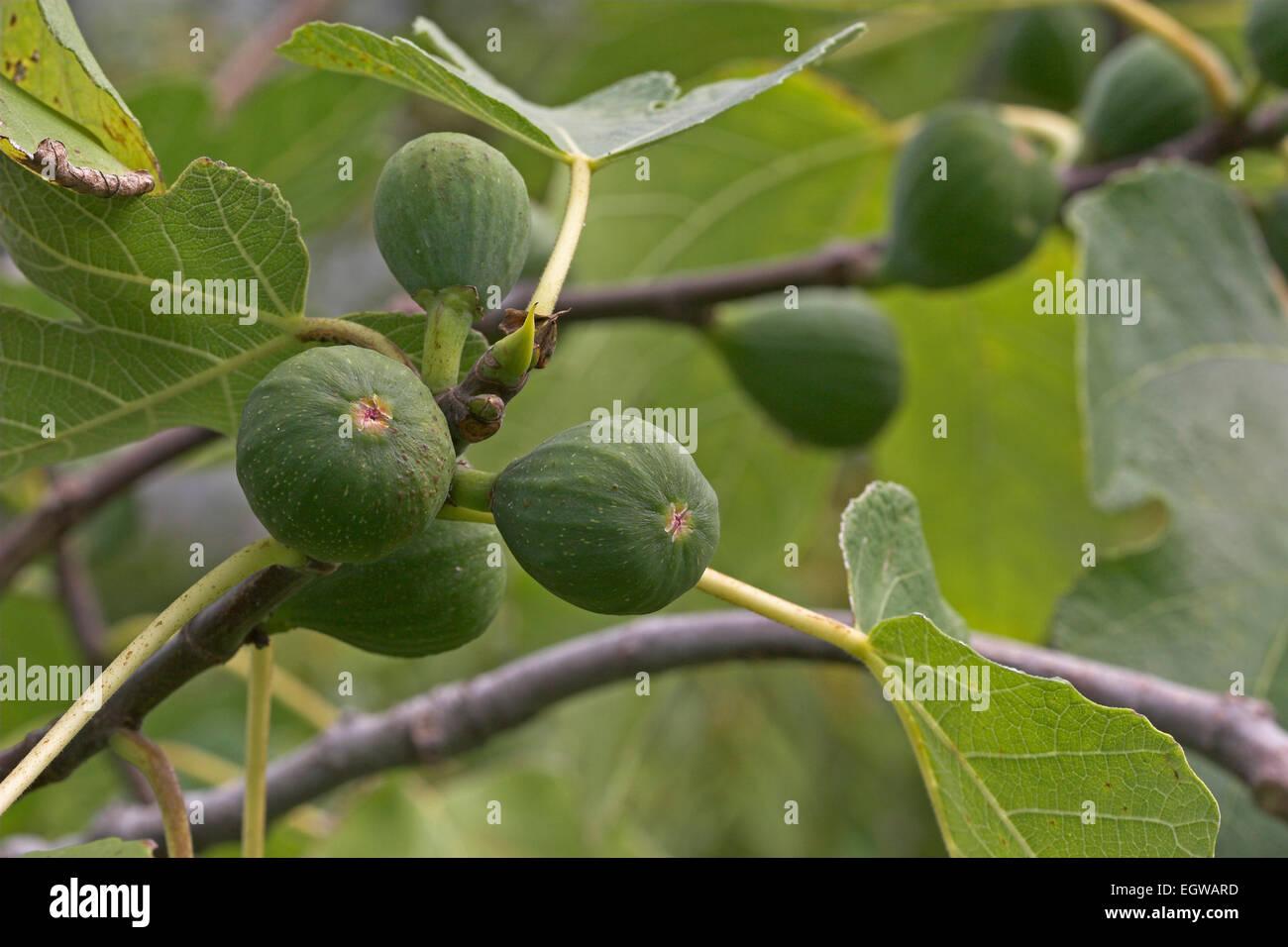 Fig, fruit, Echte Feige, Feigenbaum, Frucht, Früchte, Ficus carica Stock Photo