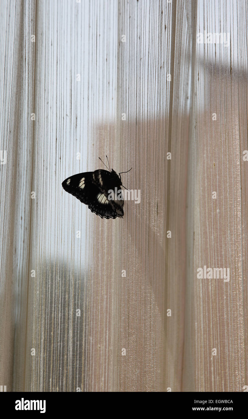Butterfly with black mustache sits on the curtain - Stock Image