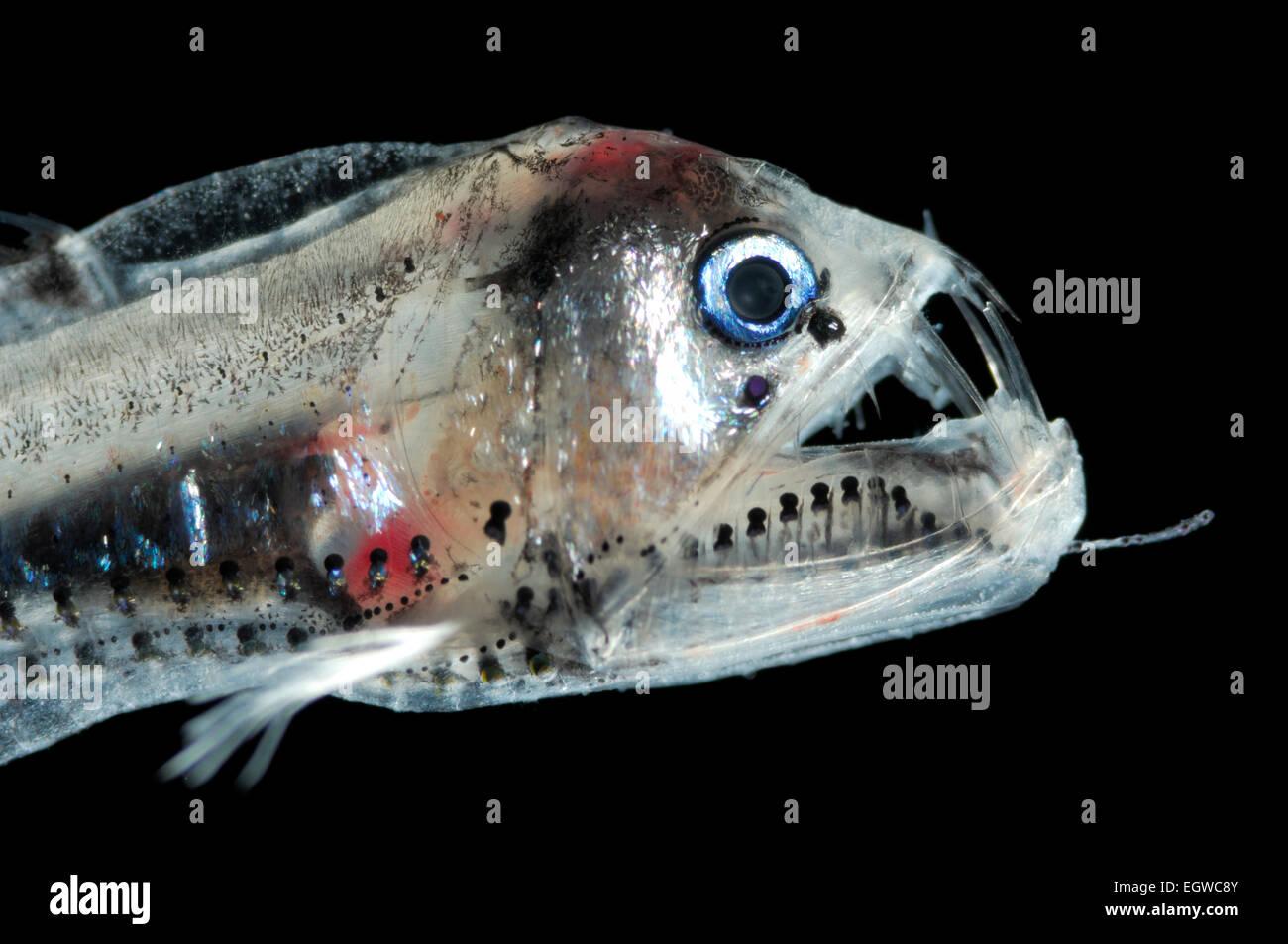 this fish is a juvenile viperfish (Chauliodus sloani)   Die Vipernfische (Chauliodus sloani), im Bild ein juveniles - Stock Image