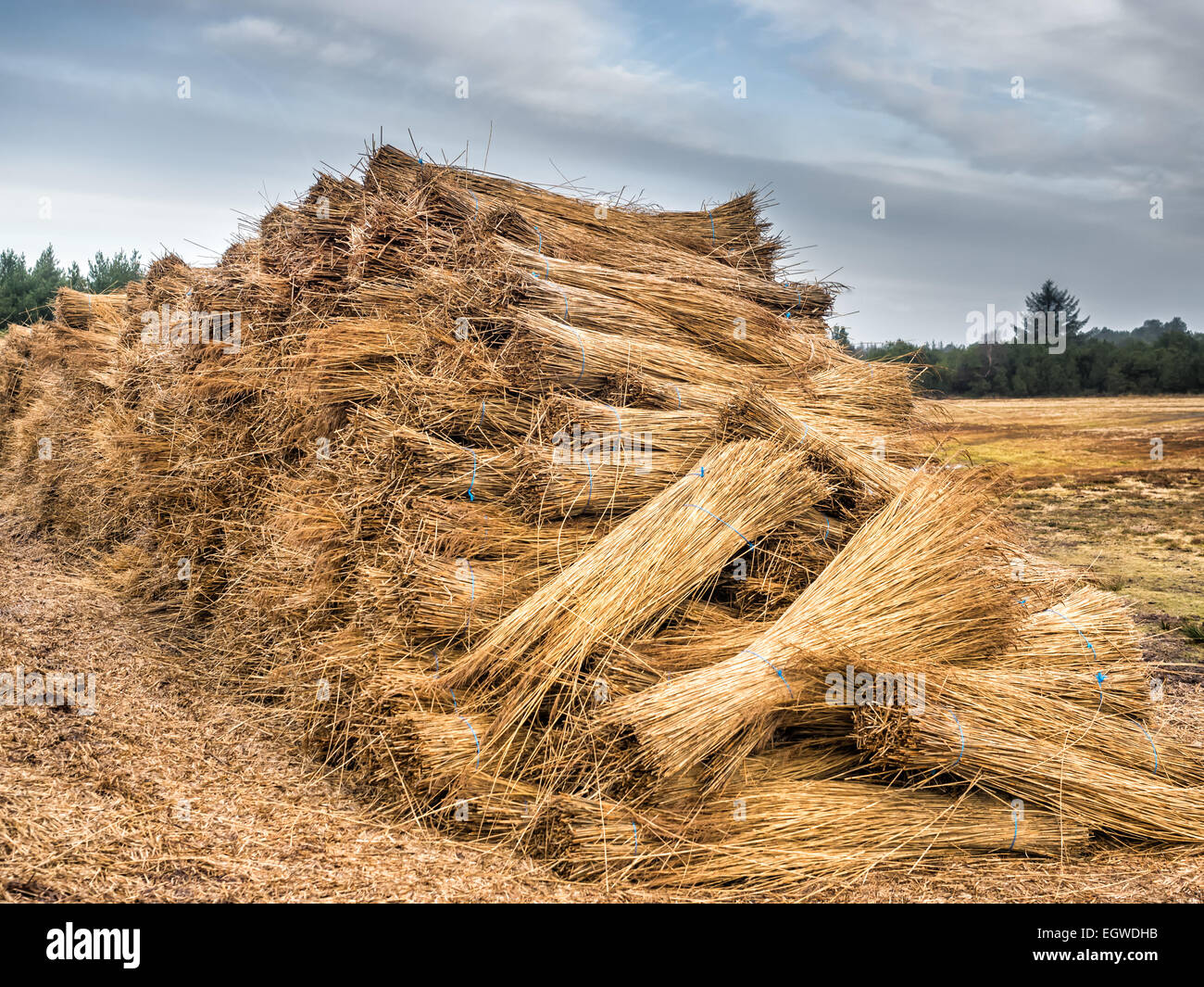 Reeds for thatching sampled in big bundles - Stock Image