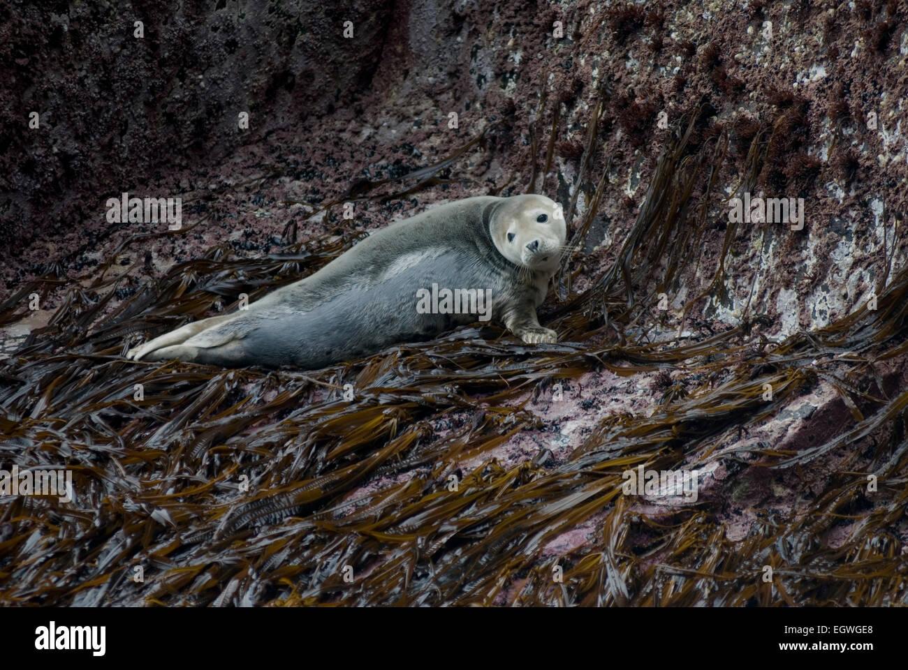 Juvenile Grey seal, Halichoerus grypus, hauled out on dabberlocks kelp (Alaria esculenta) St Kilda, West Scotland. Stock Photo