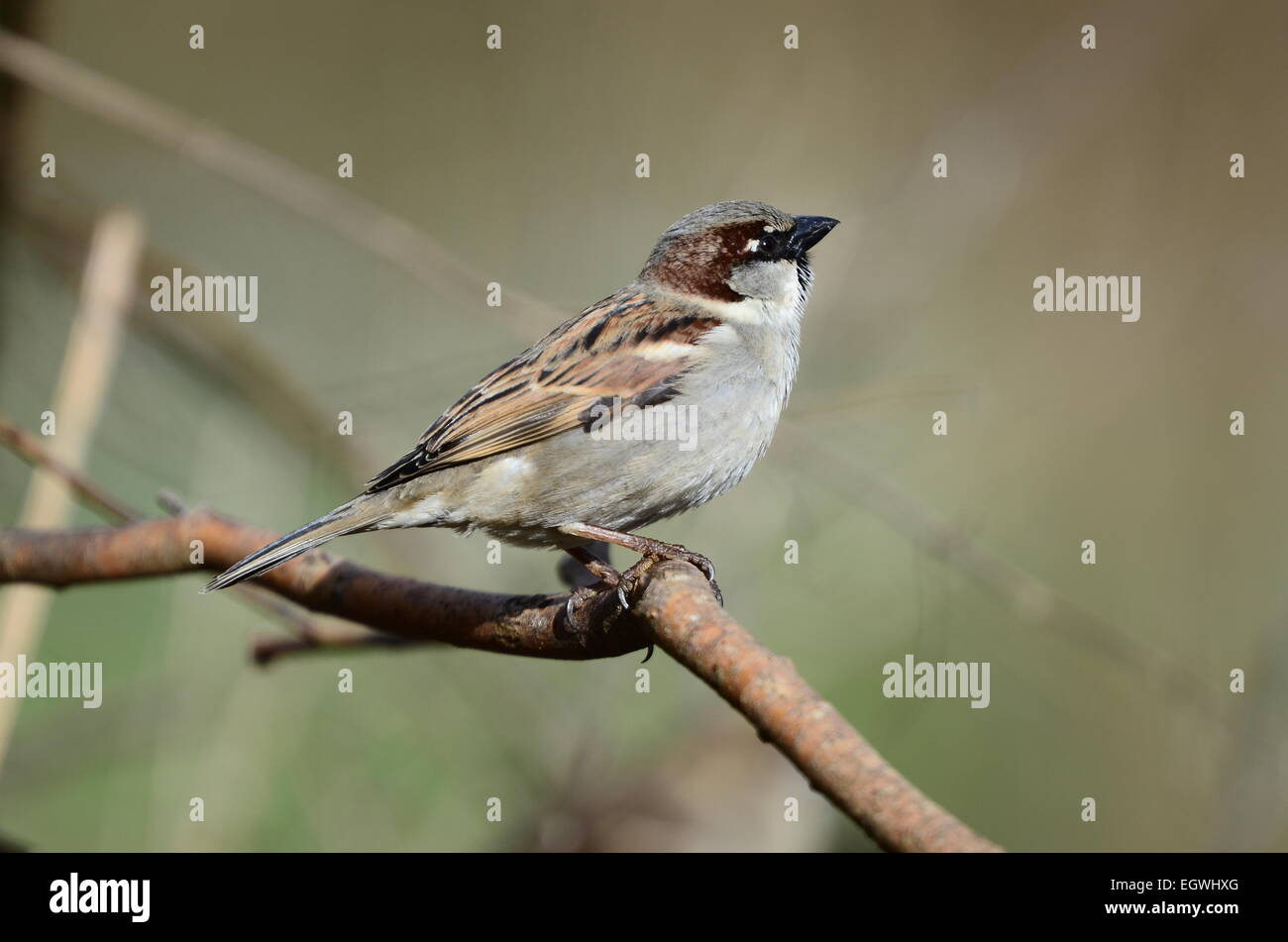 Male house sparrow UK - Stock Image