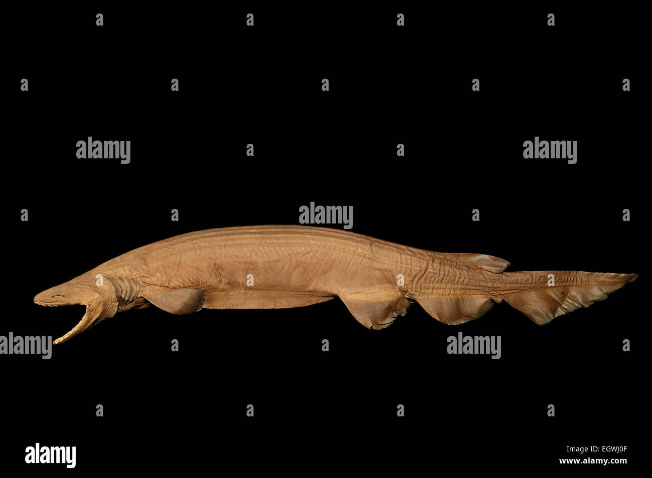 Frilled shark (Chlamydoselachus anguineus) Picture was taken in cooperation with the Zoological Museum University Stock Photo