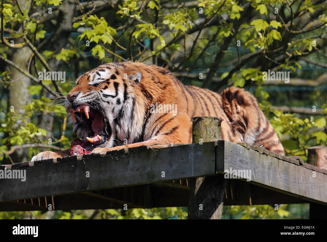 Amur Tiger roars as it protects it's lunch - Stock Image