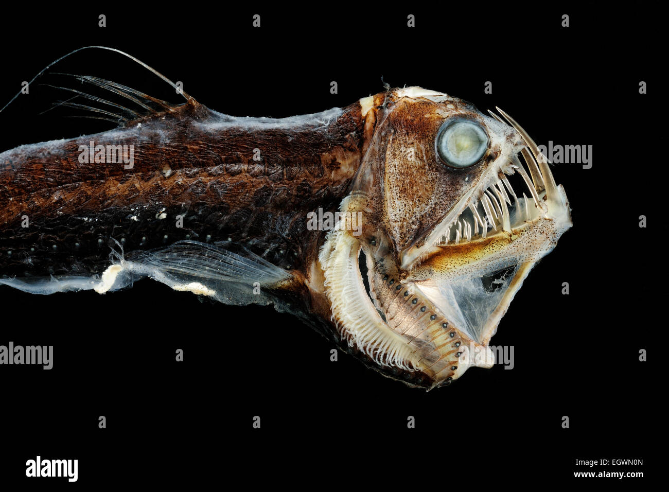 The Sloane's viperfish (Chauliodus sloani) lives in all tropical and subtropical parts of the oceans. The overall - Stock Image