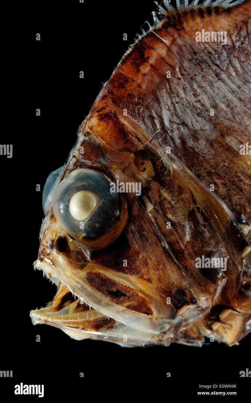 Silberpfeil.Pacific hatchet fish..Argyropelecus affinis..at 300-650 m..Beilfische ernähren sich von Plankton - Stock Image