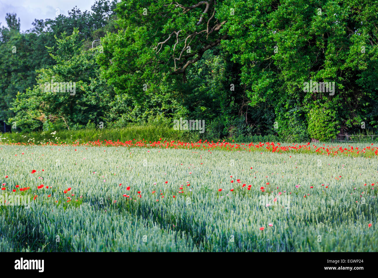 A Poppy field in Bewdley, Near Kinver, Kidderminster & Cookley, Worcestershire in the UK - Stock Image