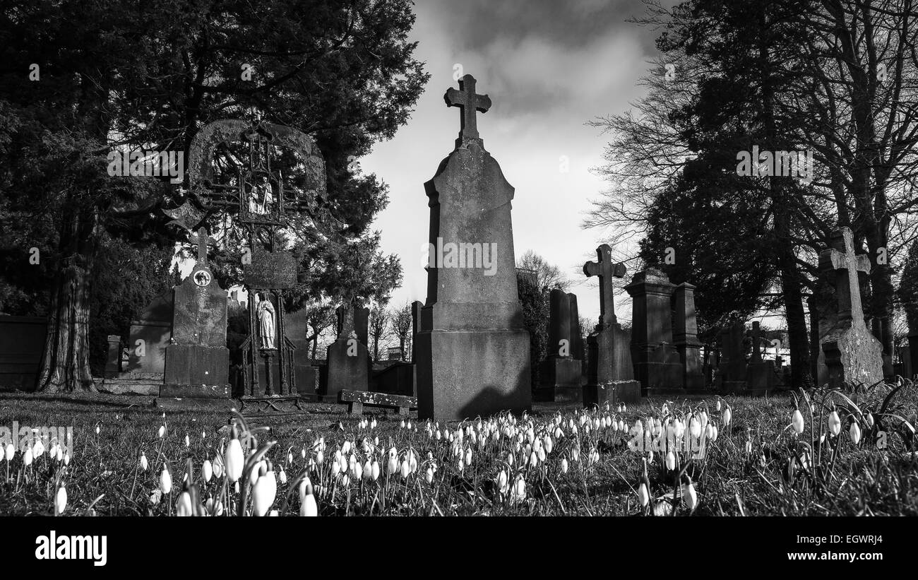 Swowdrop in front of tombstones - Stock Image