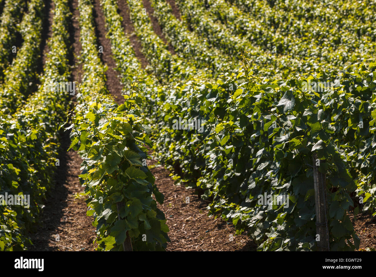 Champagne vines close-up in Champagne region, France, Europe - Stock Image