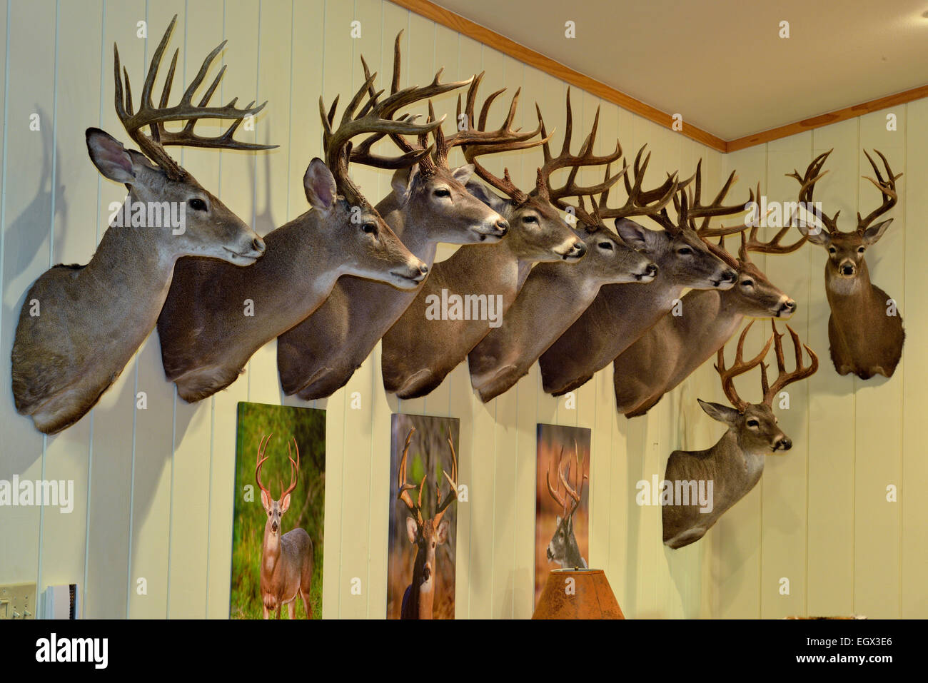 Trophy White Tail Deer Heads Mounted On A Wall Rio Grande City Texas USA
