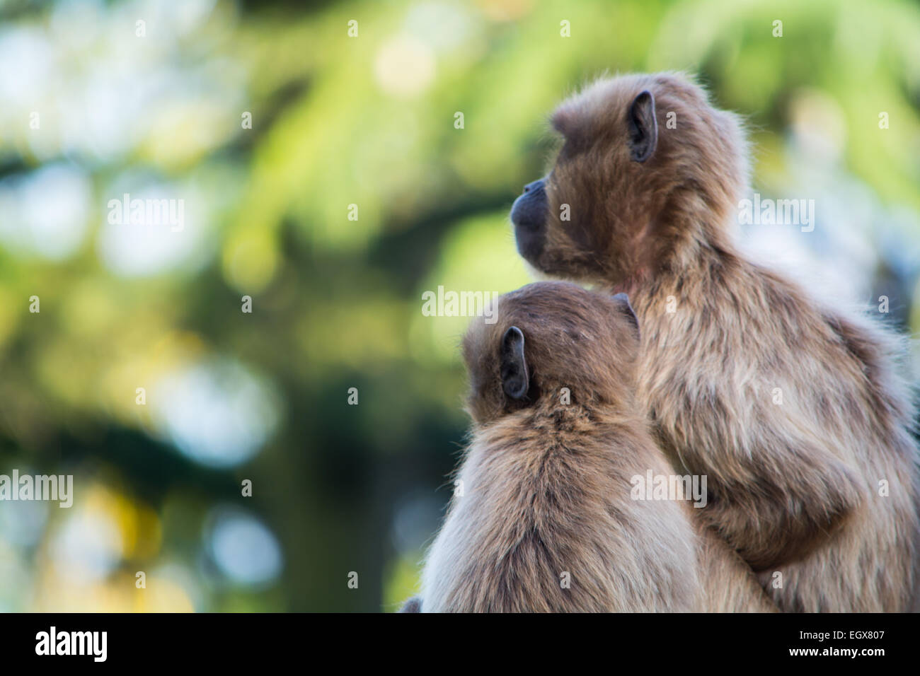 Two apes, mother and its kid looking into the distance - Stock Image