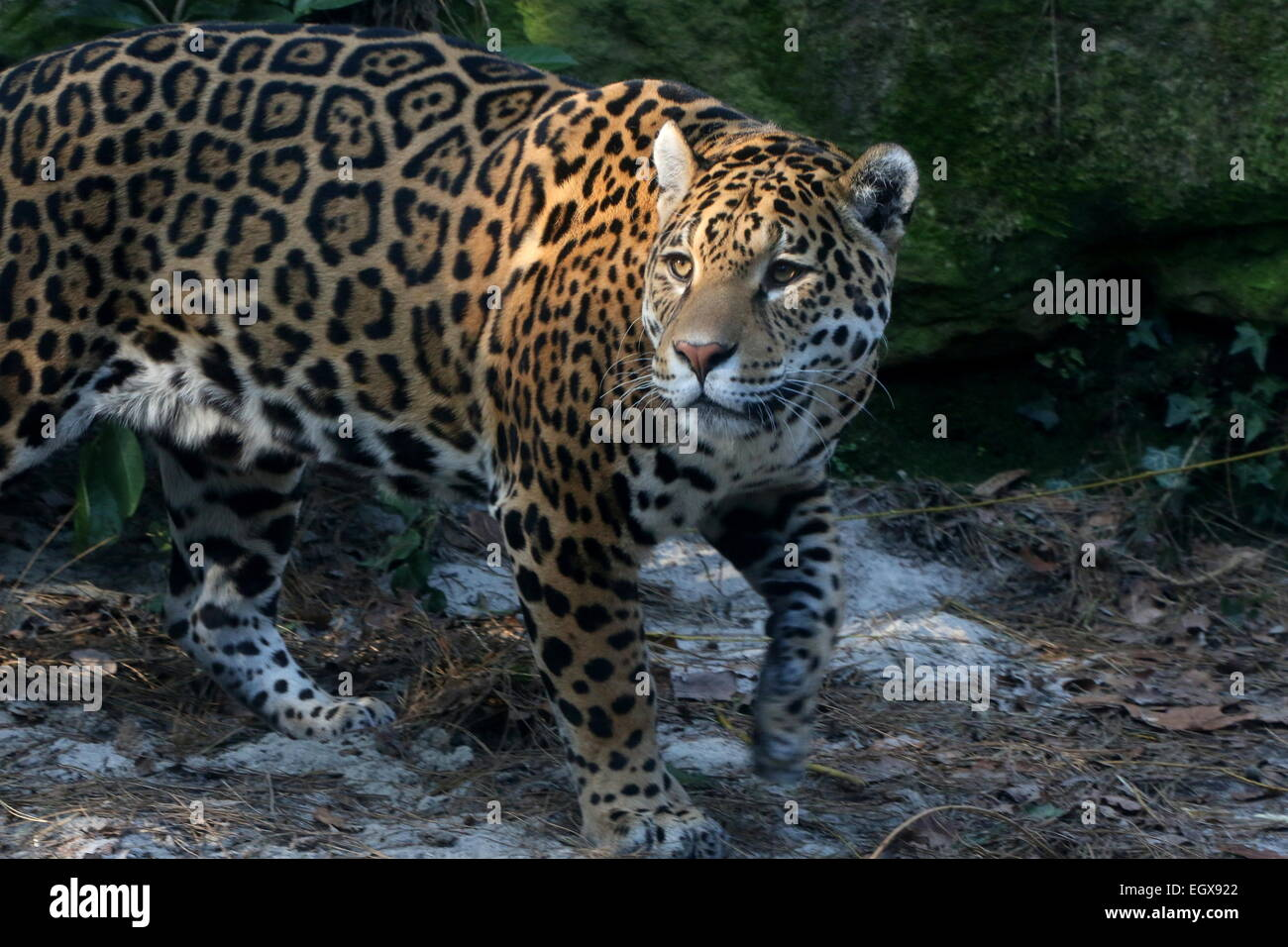 Female South American  Jaguar (Panthera onca), close-up of the head - Stock Image