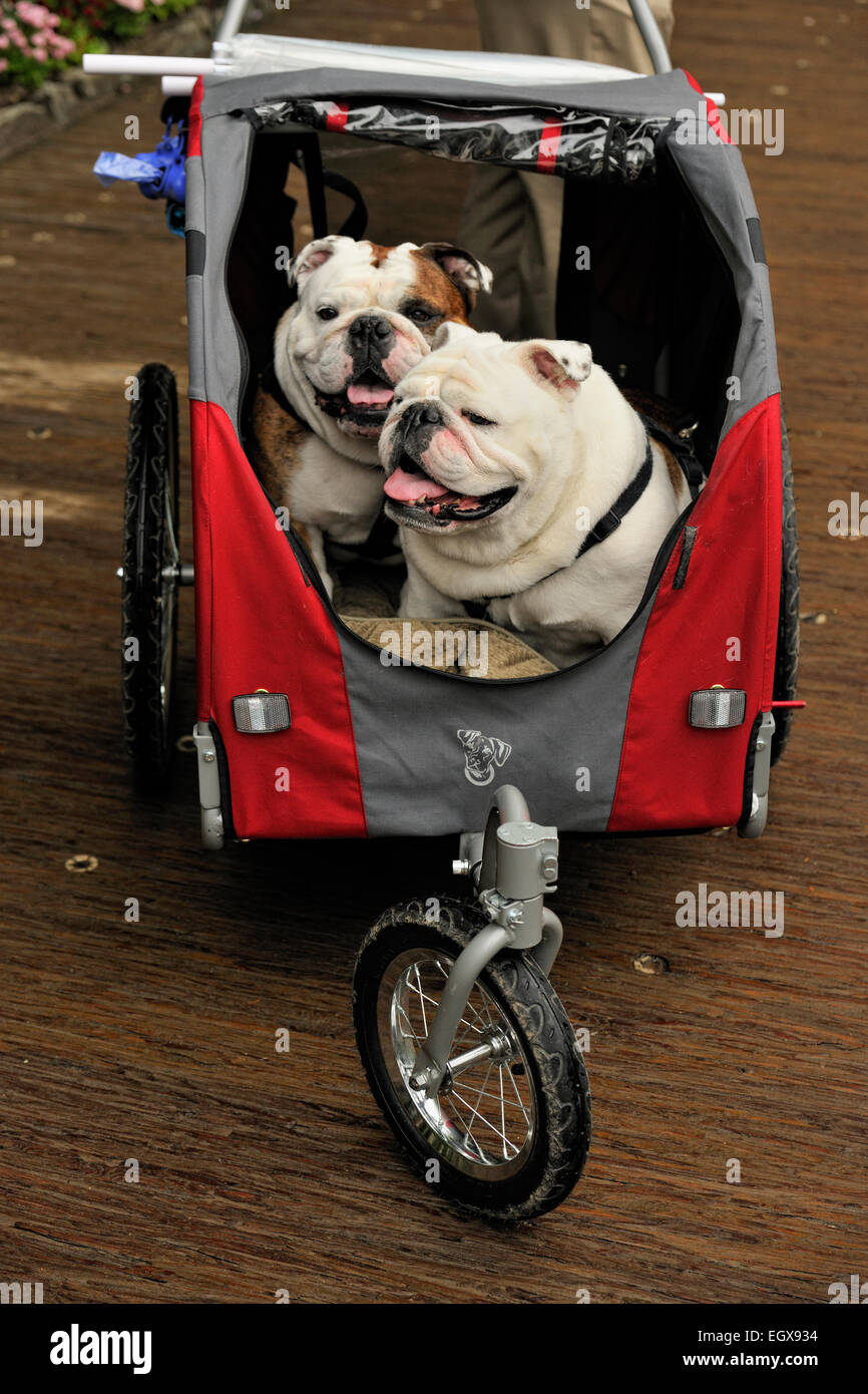 English bulldogs- 'Petunia' and 'Oscar' in a child's stroller, Victoria, British Columbia, Canada - Stock Image