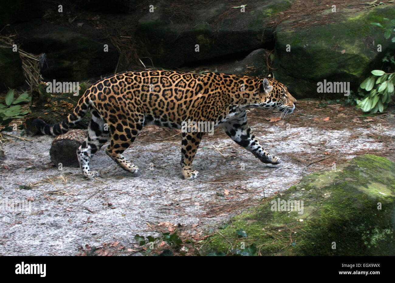 Female South American Jaguar (Panthera Onca) Walking In A Shady Forest  Setting   Stock